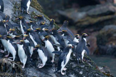 Macaroni Penguins in Cooper Bay