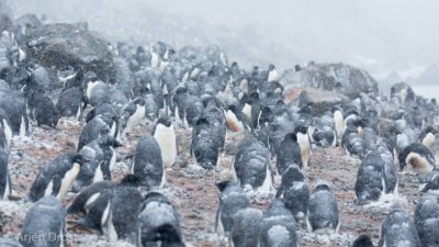 Adelie Penguins in a blizzard
