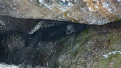 A Snow Petrel on its nest