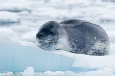 Leopard Seal on an ice floe