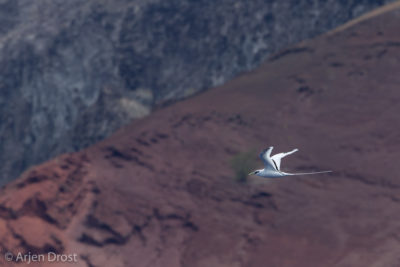 Yellow-billed Tropicbird