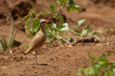 Cream-collared Courser