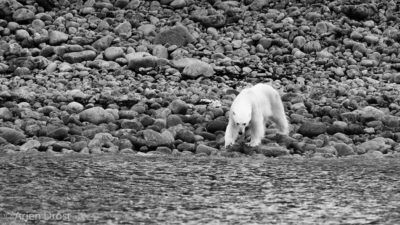 Polar Bear stranded on land