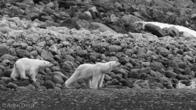 Polar Bear family stranded on land
