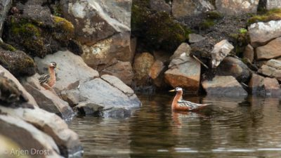 Male and female Red Phalarope