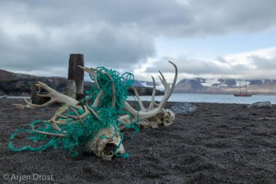 Two Reindeer trapped in a fishing net, Spitsbergen