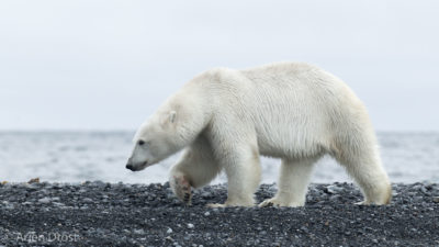 Polar Bear on the beach