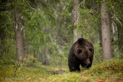 Brown Bear in the Taiga